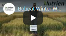 Bobcat Winter Wheat