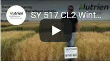 SY 517 CL2 Winter Wheat1