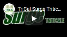 TriCal Triticale Surge