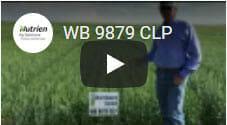 WB 9879 CLP Spring Wheat