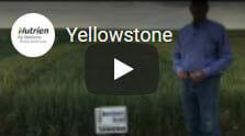 Yellowstone Winter Wheat